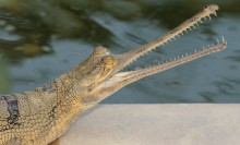 long-nosed looking alligator