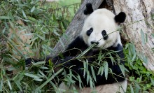 A giant panda leaning against a tree and eating bamboo