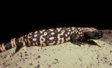Large variegated black and pink lizard with prominent and numerous beads on the oily-looking skin