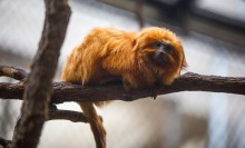 A small, furry, orange primate called a golden lion tamarin perched on a branch