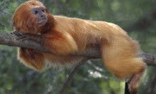 Golden Lion Tamarin on a branch