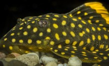 Olive bottom dwelling fish with bright yellow spots all over its body