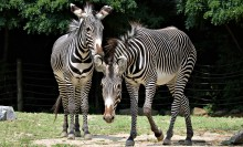 Two large hoofed animals with bold black and white stripes
