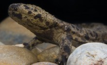 Side view of a large salamander showing the front legs