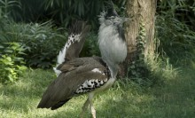 Kori bustard, a turkey-sized bird with gray and white plumage, with inflated neck