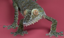 A close-up of a giant leaf-tailed gecko on a pink background