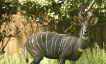 large gray deerlike animal with elegantly twisted horns spiralling upward and thin white longitudinal stripes on its body