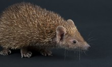 The tan fur on the body of this small critter looks quite thick and spiny