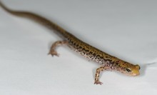 A long skinny yellow salamander with intricate black markings scattered about
