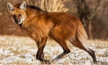 maned wolf running across snowy field