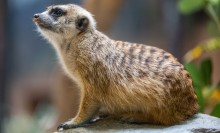 A small mammal, called a meerkat, with light-brown fur with dark brown stripes along its back.