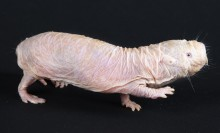 Pink, hairless, wrinkled small sausage-shaped animal