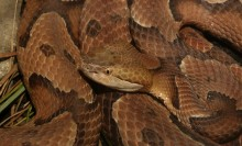 Densely coiled reddish-brown snake with darker splotches. The triangular head has both a nasal cavity and a heat sensing pit