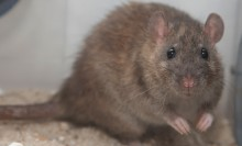 Small brown rodent with beady eyes, small ears, and a long tail
