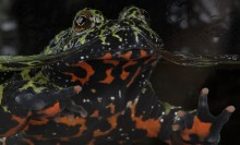 Jet black toad with flames of brilliant across fanning across its belly. The head is mottled with green