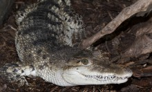Crocodile with grayish-green upperparts and dark bars. Underparts are a snowy white. Numerous teeth are visible.