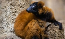 A red-ruffed lemur with thick, red fur, a black chest, face and hands, white eyes and red ear tufts sits on a rock