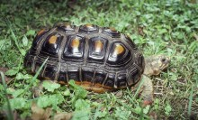 Blackish-shelled tortoise with a long shell. Each scute on its back has a rectangular, yellow center