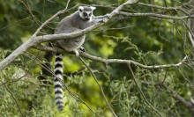 Gray lemur with boldly black-and-white banded tail, a foxlike face, and white, tufted ears