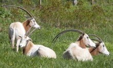 Four large hoofed animals resting in a field. Their long, thin curved horns stretch out behind them