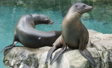 two sea lions sitting on a rock