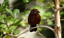 small maroon songbird on perch