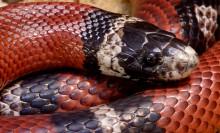 a sinaloan milk snake