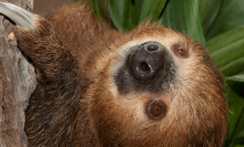 Brown-furred animal with 2 long front claws and a wet nose