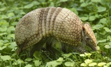 La Plata three banded armadillo