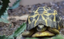 Black and yellow tortoise with a high domed shell
