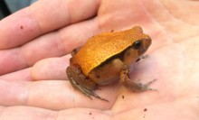 A tomato frog in someone's hand