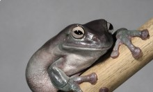 Puffy tree frog with dull green coloration sitting on a branch