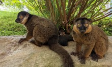 Two collared brown lemurs stand together on a large rock with grass and a shrub in the background