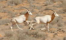 two oryx running through the desert