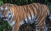 Amur tiger Nikita makes her debut at the Smithsonian's National Zoo's Great Cats exhibit on Feb. 26, 2019.