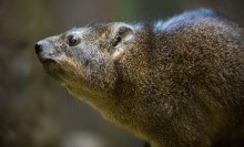 A small, furry brown mammal, called a rock hyrax
