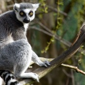 A ring-tailed lemur with gray and white fur, yellow eyes, a black nose and a white and black striped tail sitting on a tree branch
