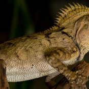 A chameleon forest dragon with mottled brown skin and a spiked crest at the base of its neck.