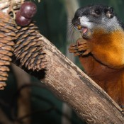 A Prevost's squirrel with black, white and orange-brown coloring perched on a tree branch with pine cones