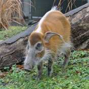 A small hog with red-brown fur, a white stripe down its back, a gray-black face, a long snout, short legs and large ears with long tufts of hair grazing in the green grass. A large log is in the background
