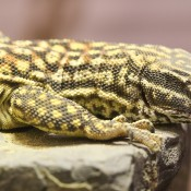 A lizard, called a spiny-tailed monitor, with a long body and tail, short legs, clawed digits and a spotted pattern of scales.