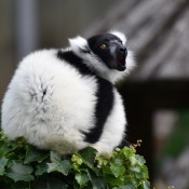 Black and white ruffed lemur sitting on top of green leaves