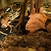 A large snake with a black and white diamond pattern rests on a log near fallen leaves and dirt