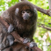 A small monkey, called a white-eared titi monkey, with thick brown and gray-white fur perches on a branch