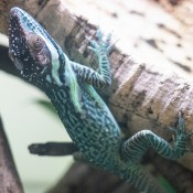 A small lizard called a Smallwood's anole crawls along the side of a piece of wood. It has blue-green mottled, scaly skin, small eyes and long digits with claws