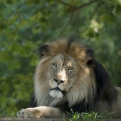 African lion laying down with greenery in the background