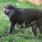 Allen's Swamp Monkey in the grass