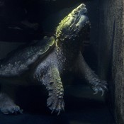 An alligator snapping turtle swimming in dark water