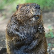 beaver standing on hind legs. Its paws are oddly hand-like and its large yellow teeth are visible in its jaw