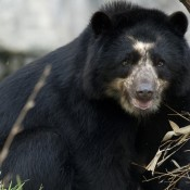 Andean Bear gray background
